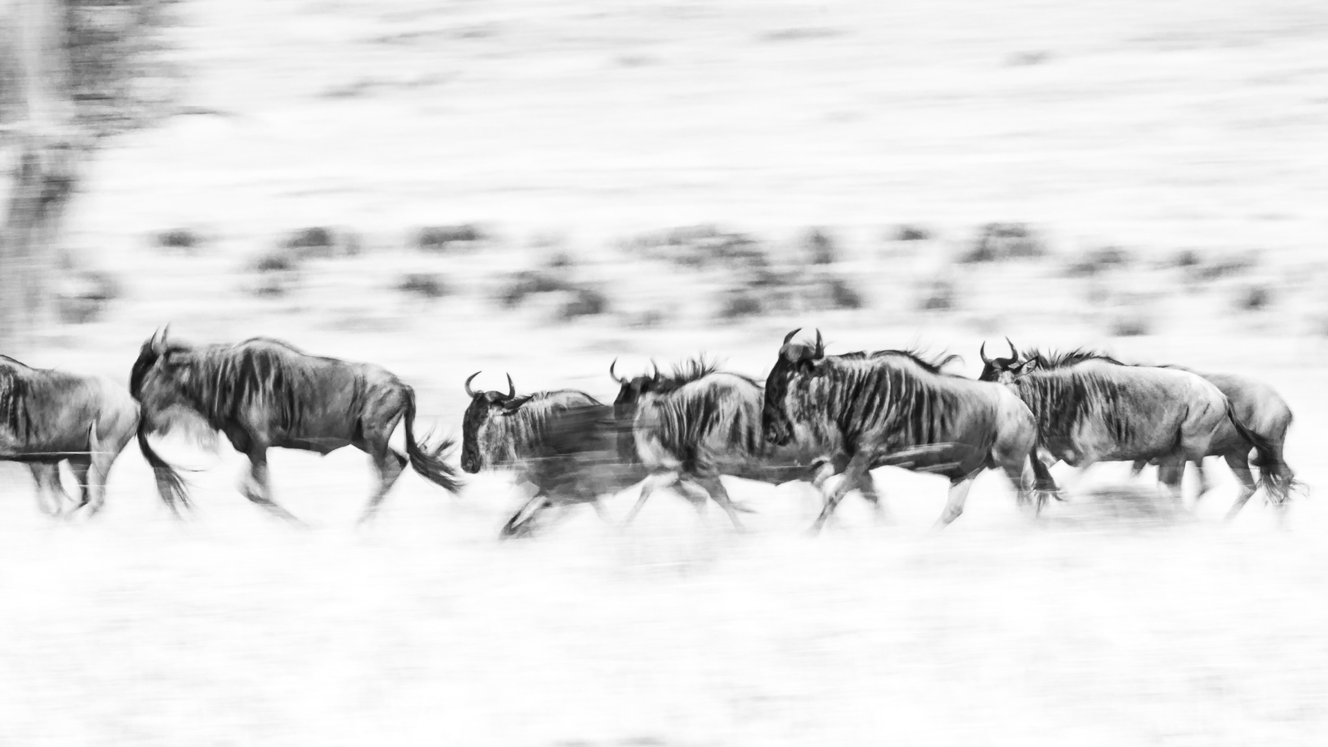 black and white wildebeests
