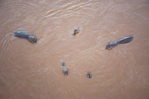 A small hippo pod captured from above