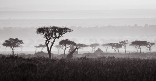 A high contrast black-and-white shot of a giraffe amid the beautiful balanites