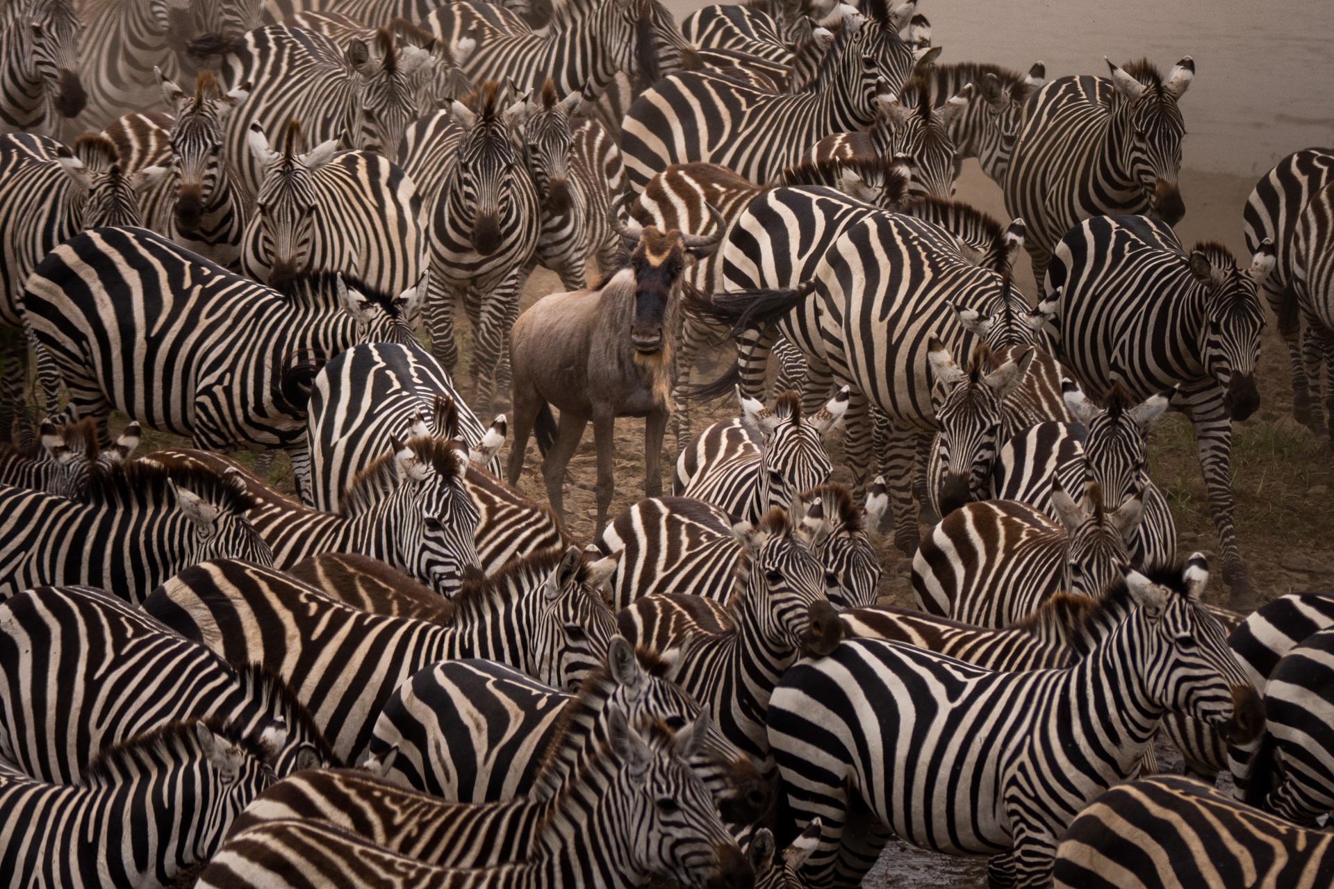 Zebras wilde