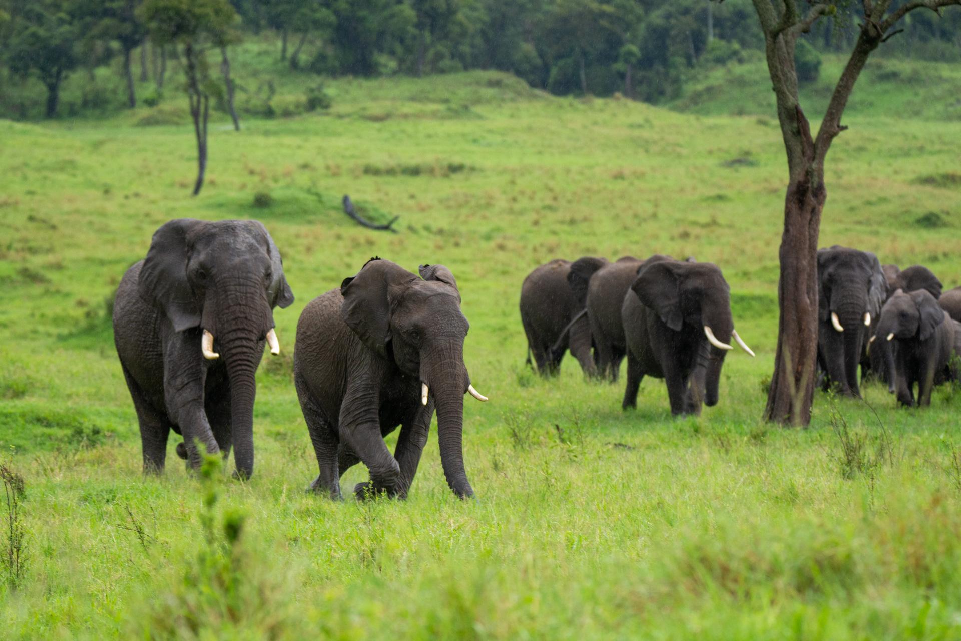 Elephant on the run