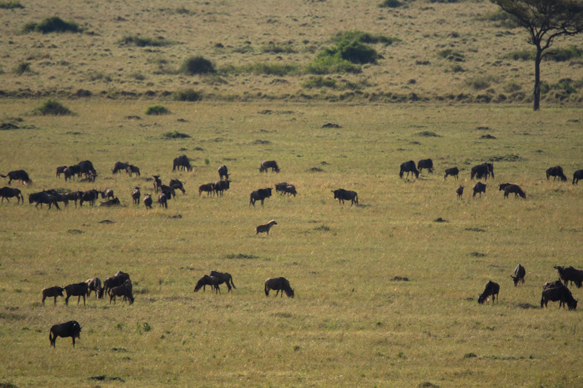 Hyena & wildebeests