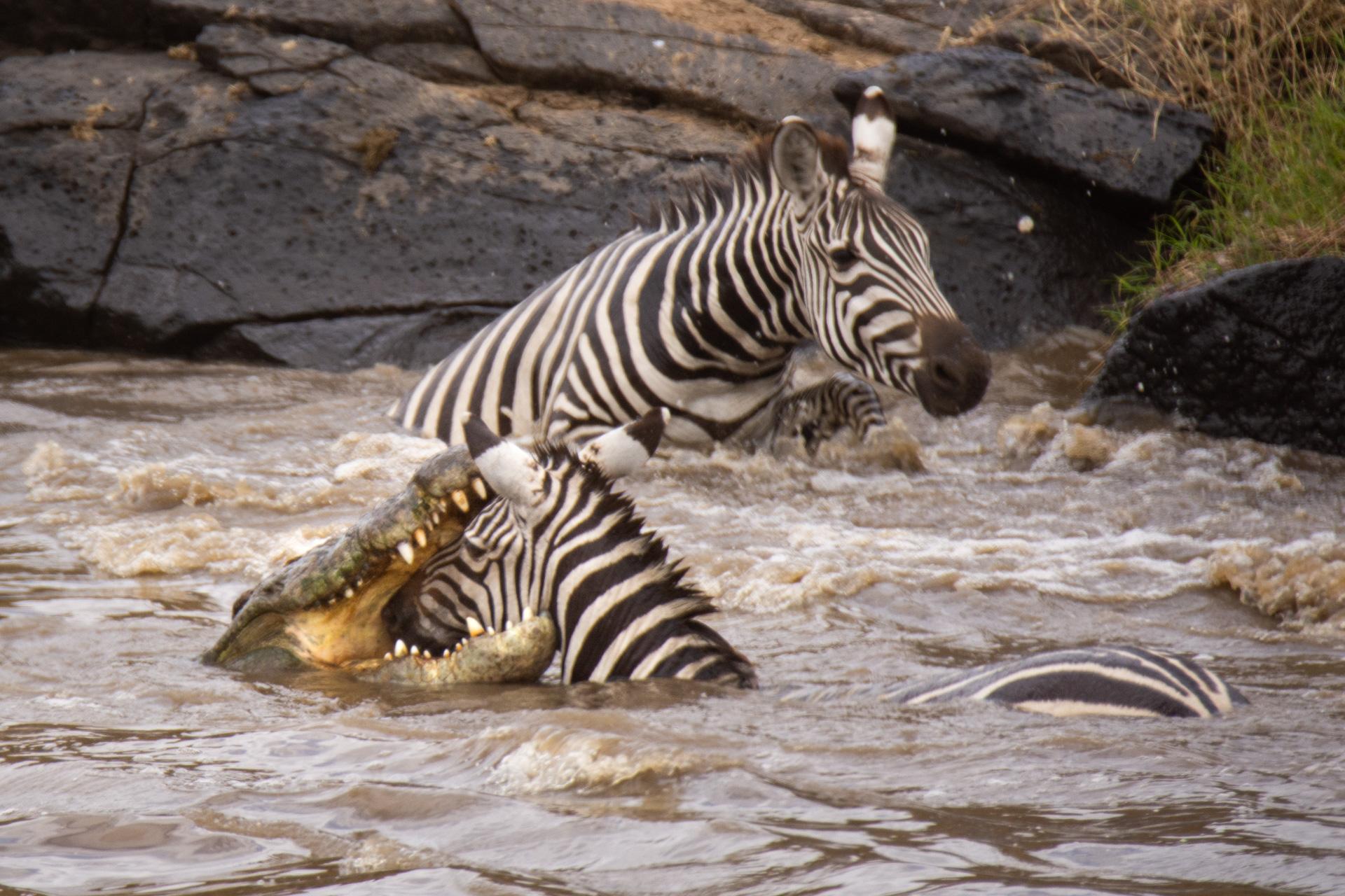 Croc and zebra