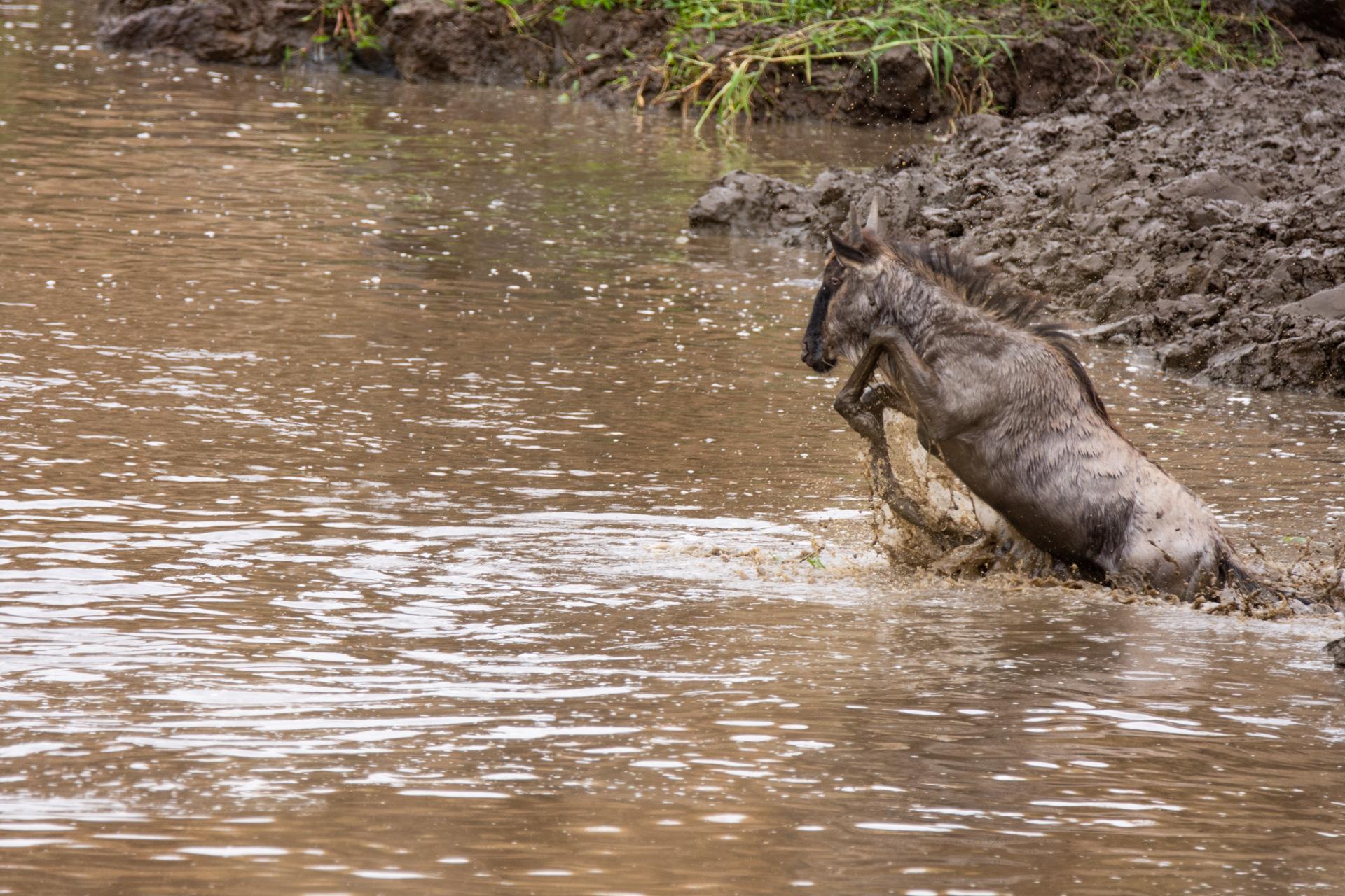 Wilde croc