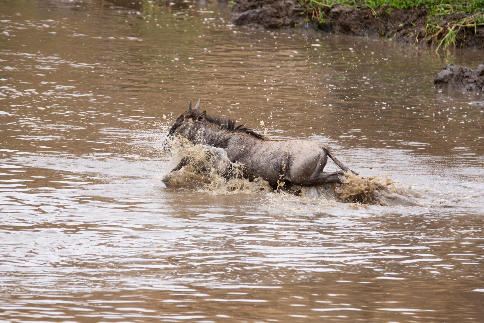 Wildebeest croc