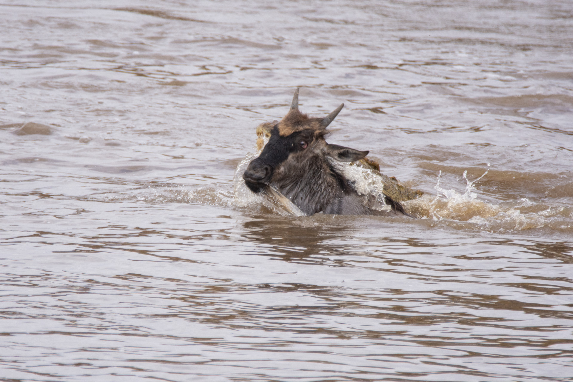 Wilde swimming croc