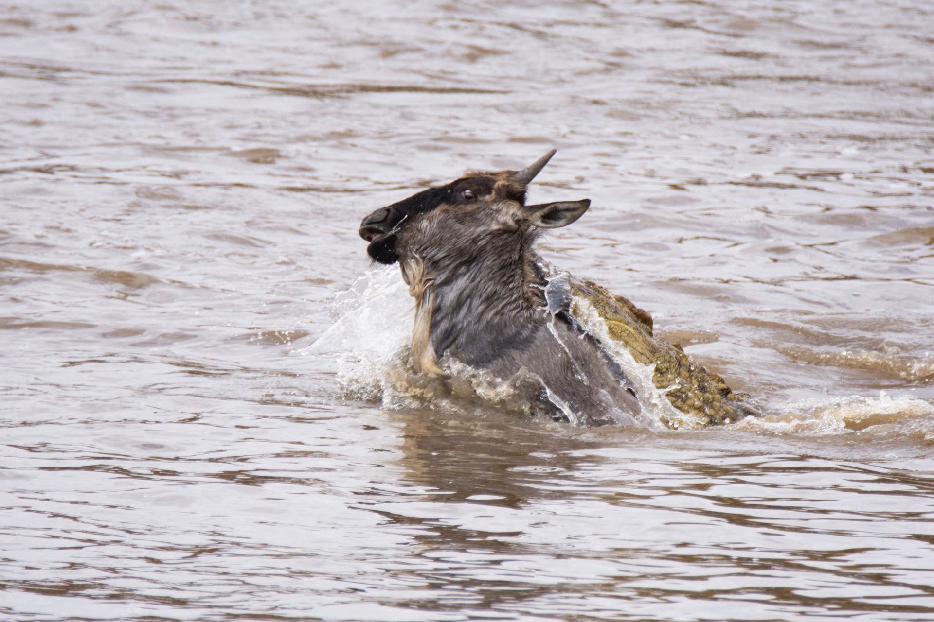 croc taking wilde
