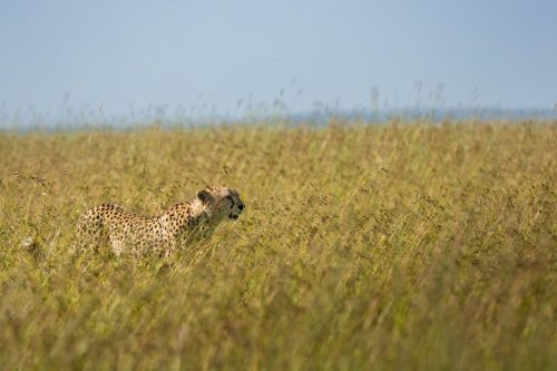 One of the Boarder Brothers captured in the tall grass