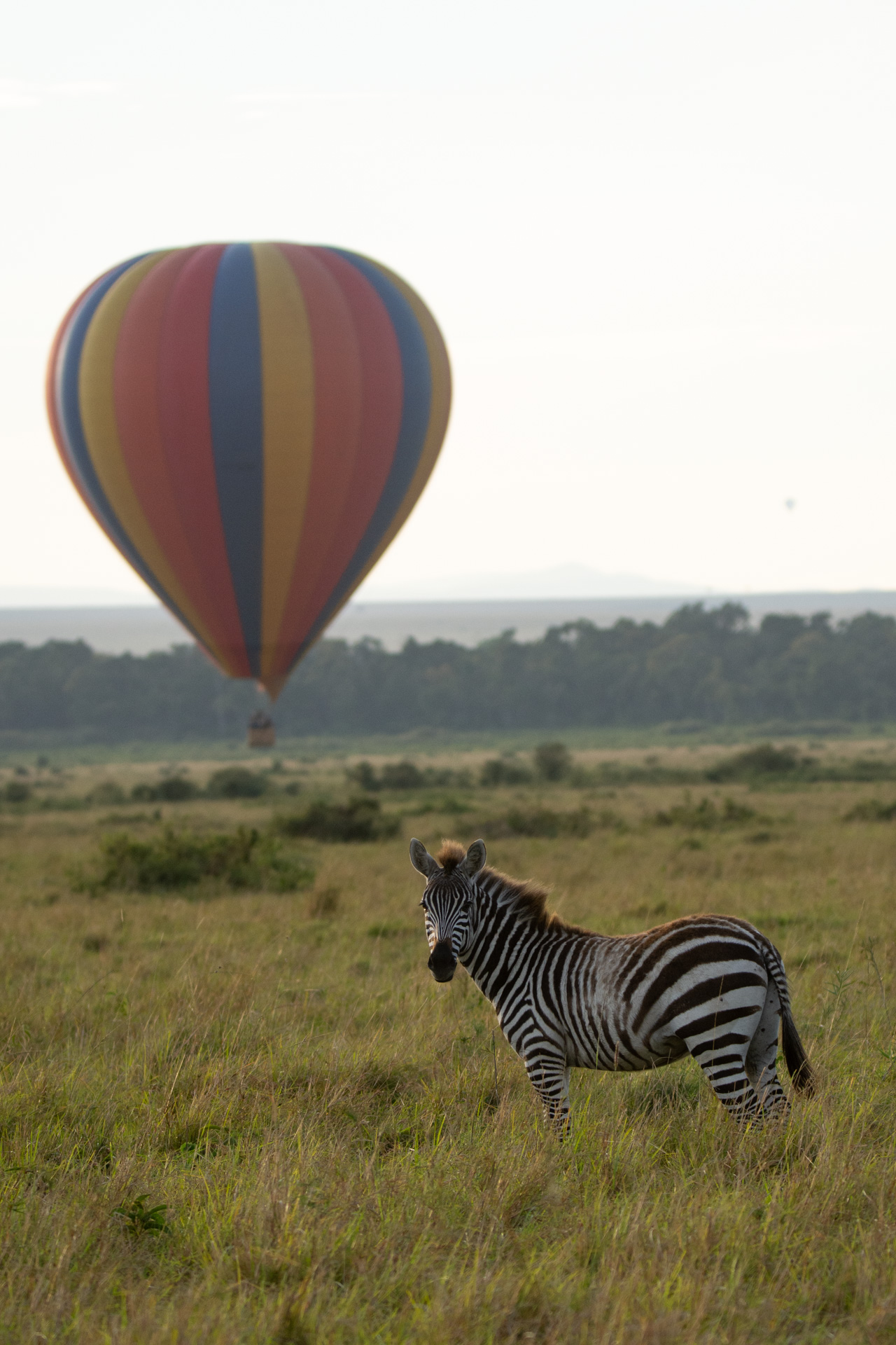 zebra and balloon 3