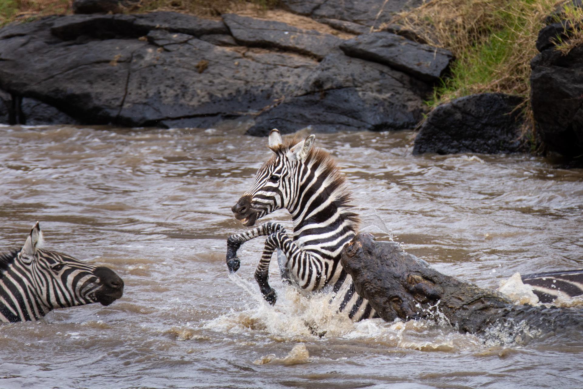 Zebra baby and croc
