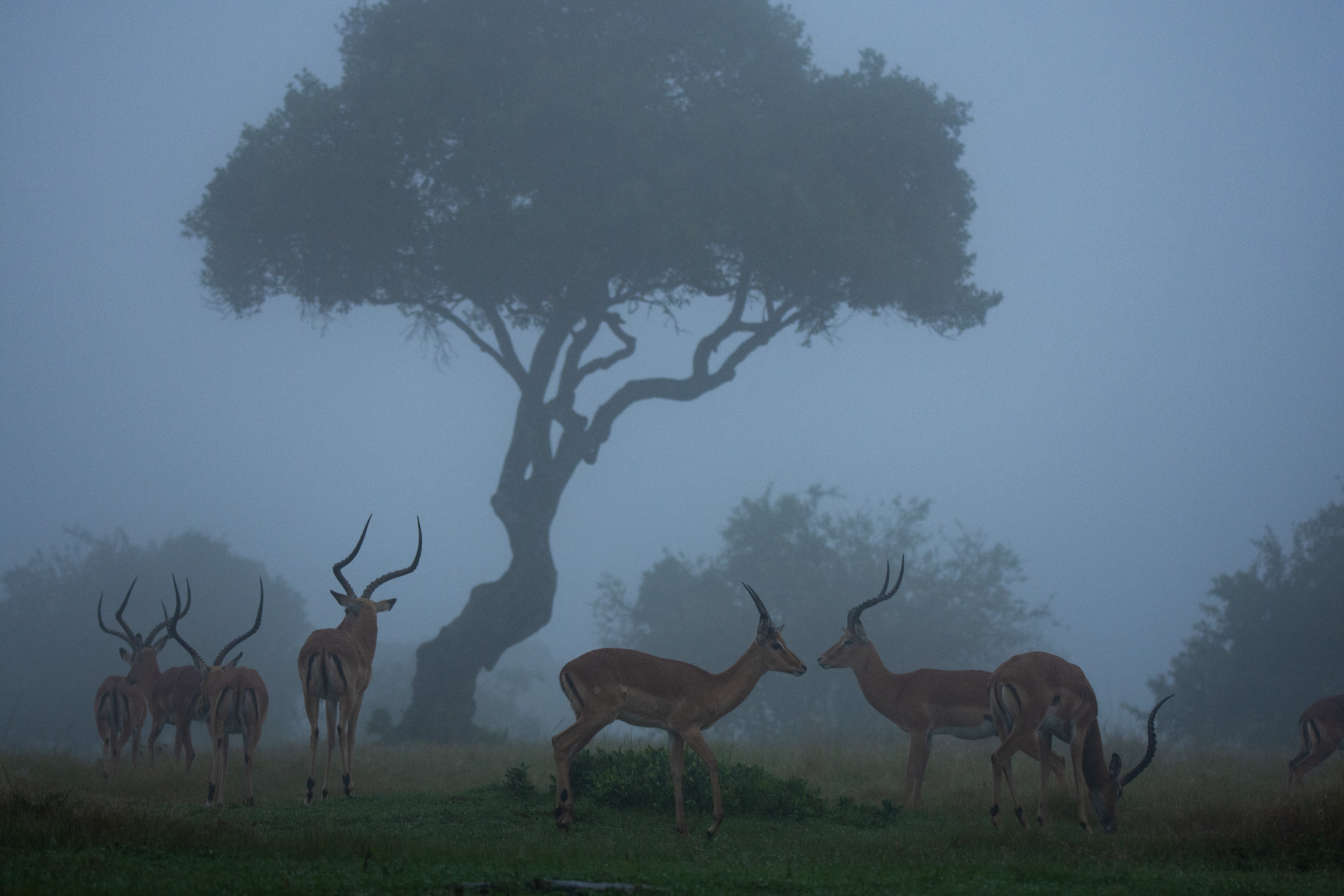 Impalas in the mist