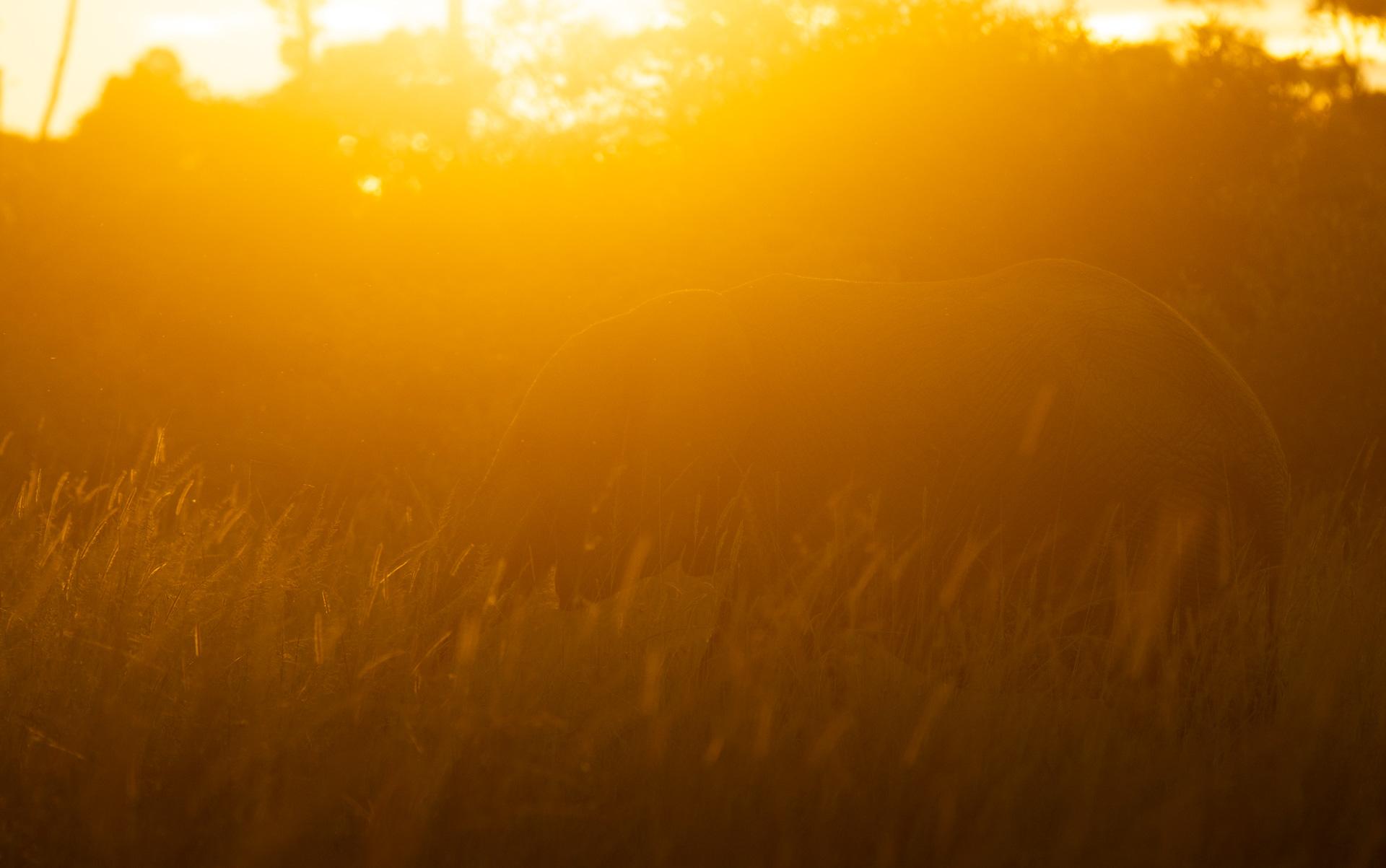 Elephant at sunrise