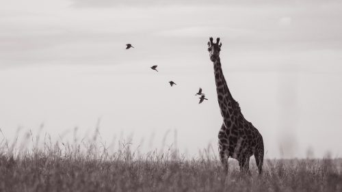 A beautiful line of ox-peckers fly off of a giraffe as it makes a move