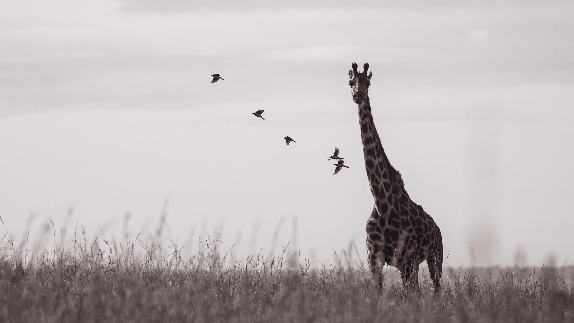 giraffe black and white