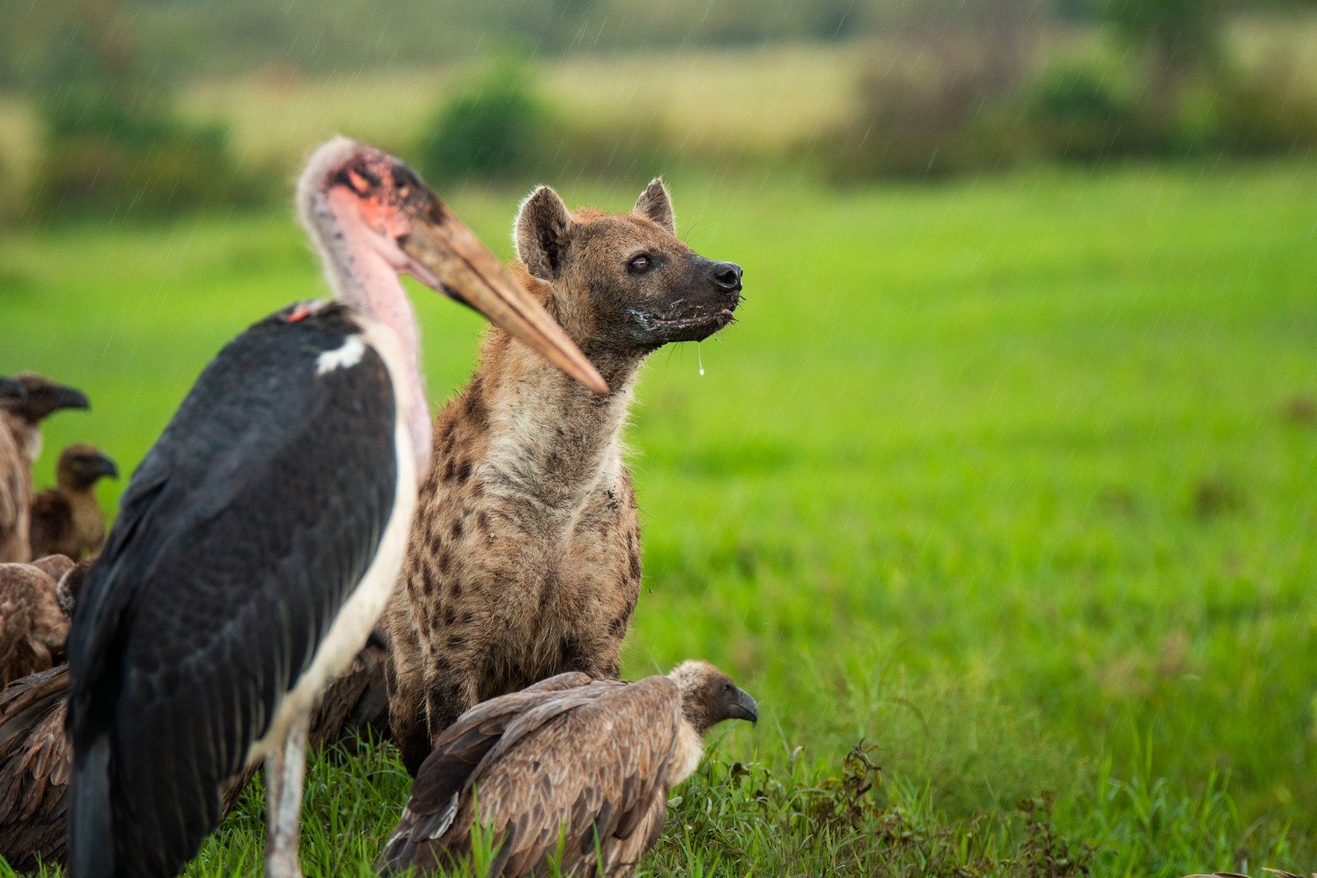 Hyena and marabou stork