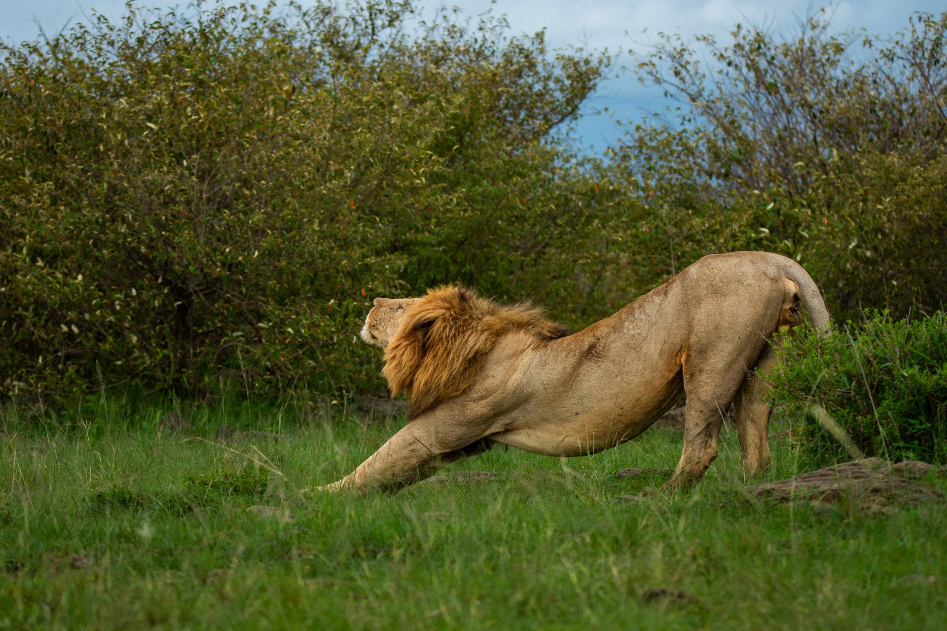 Lion stretching