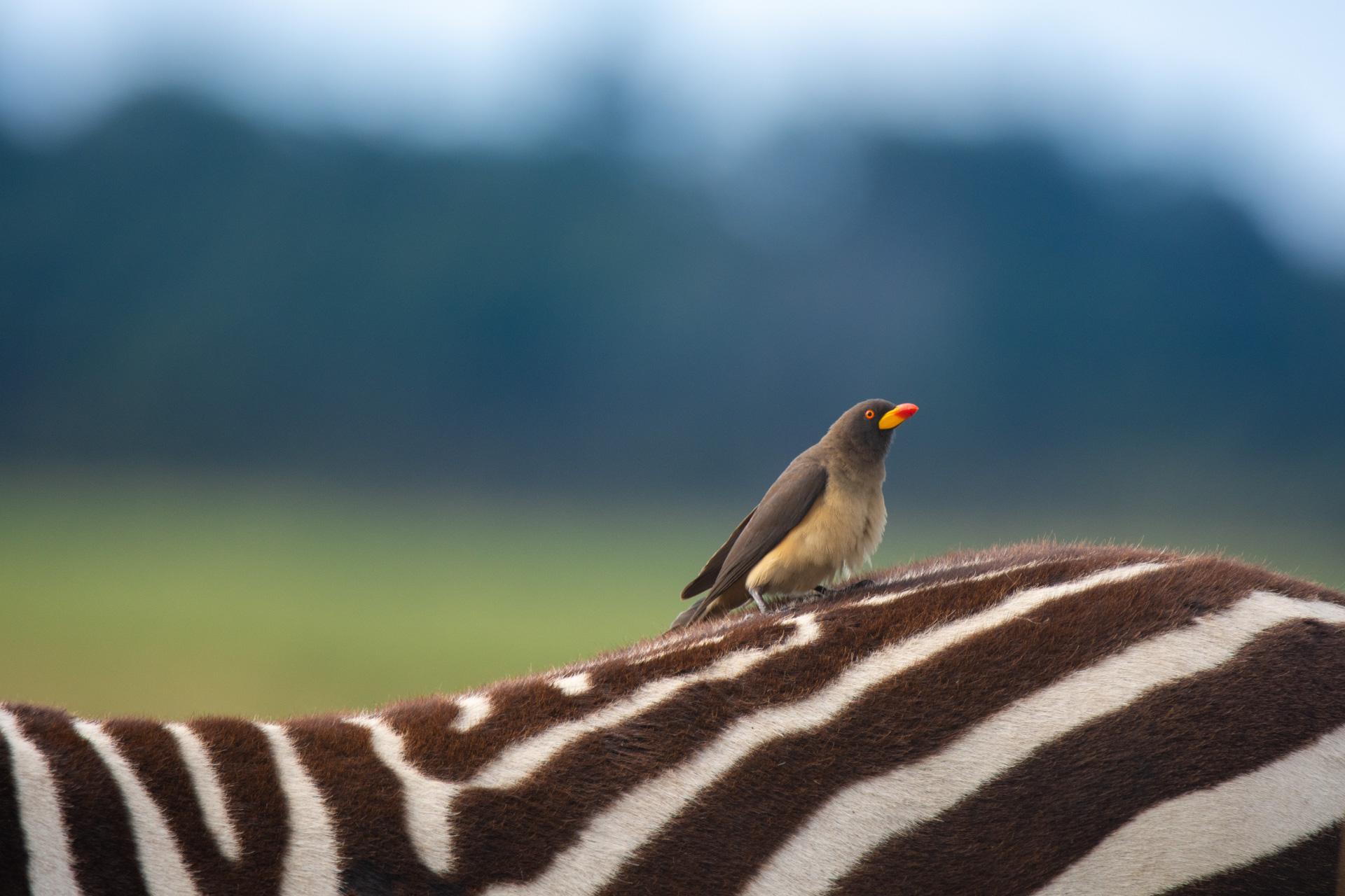 Oxpecker and zebra