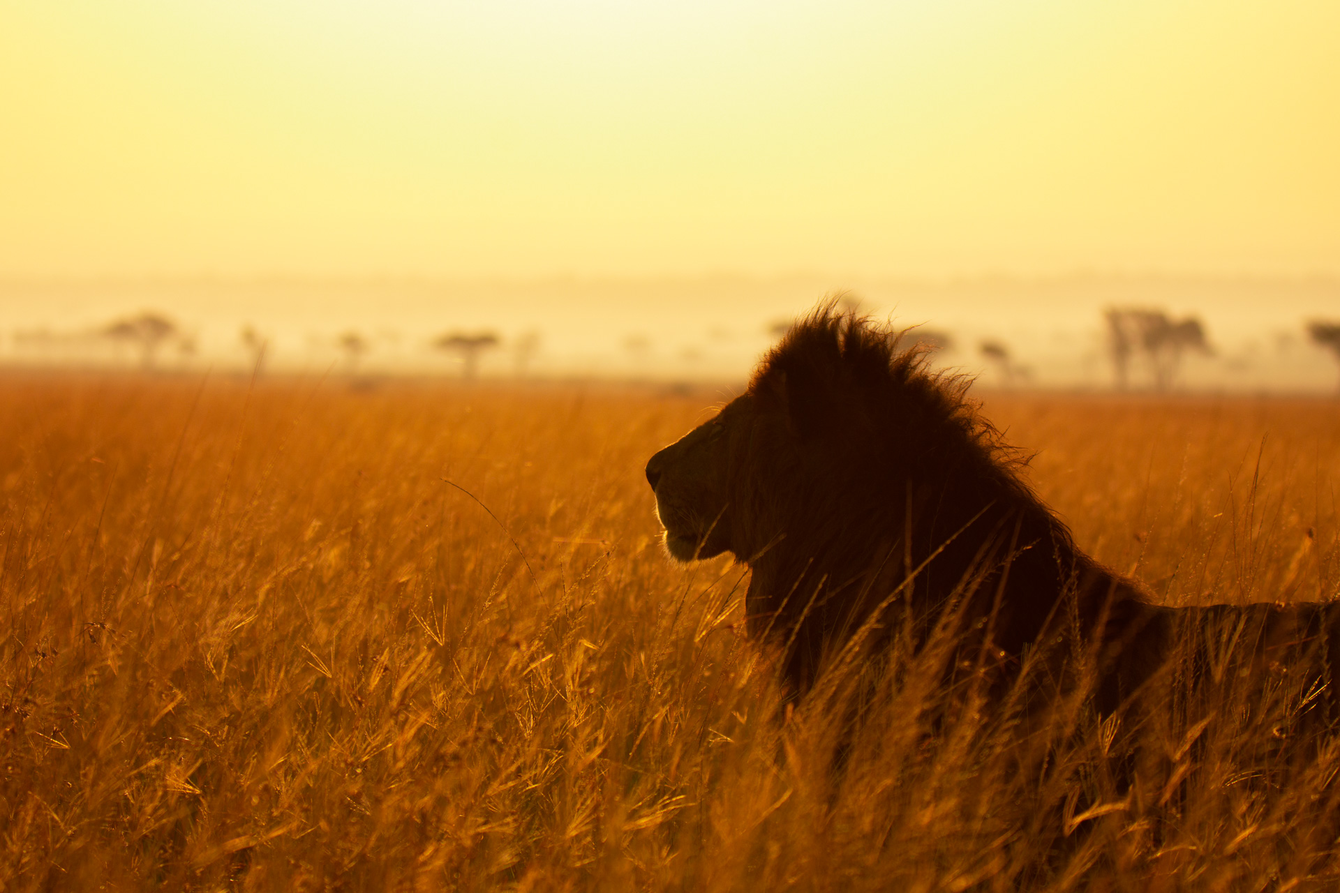 Lion Silouette