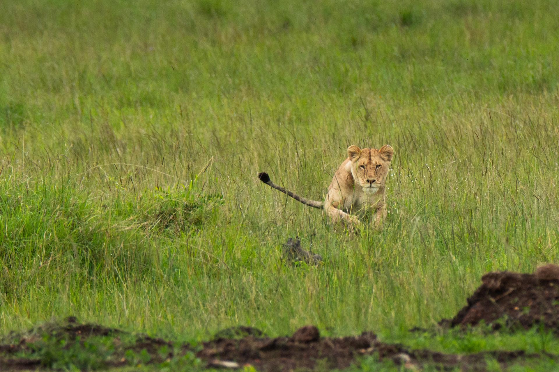 lioness pounce
