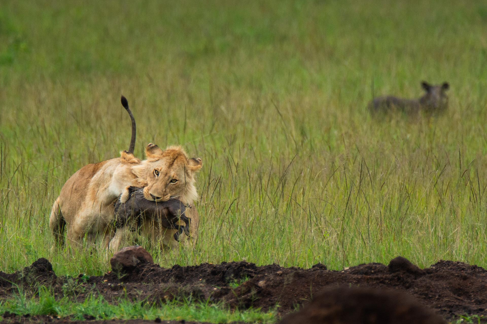 lioness with warthog