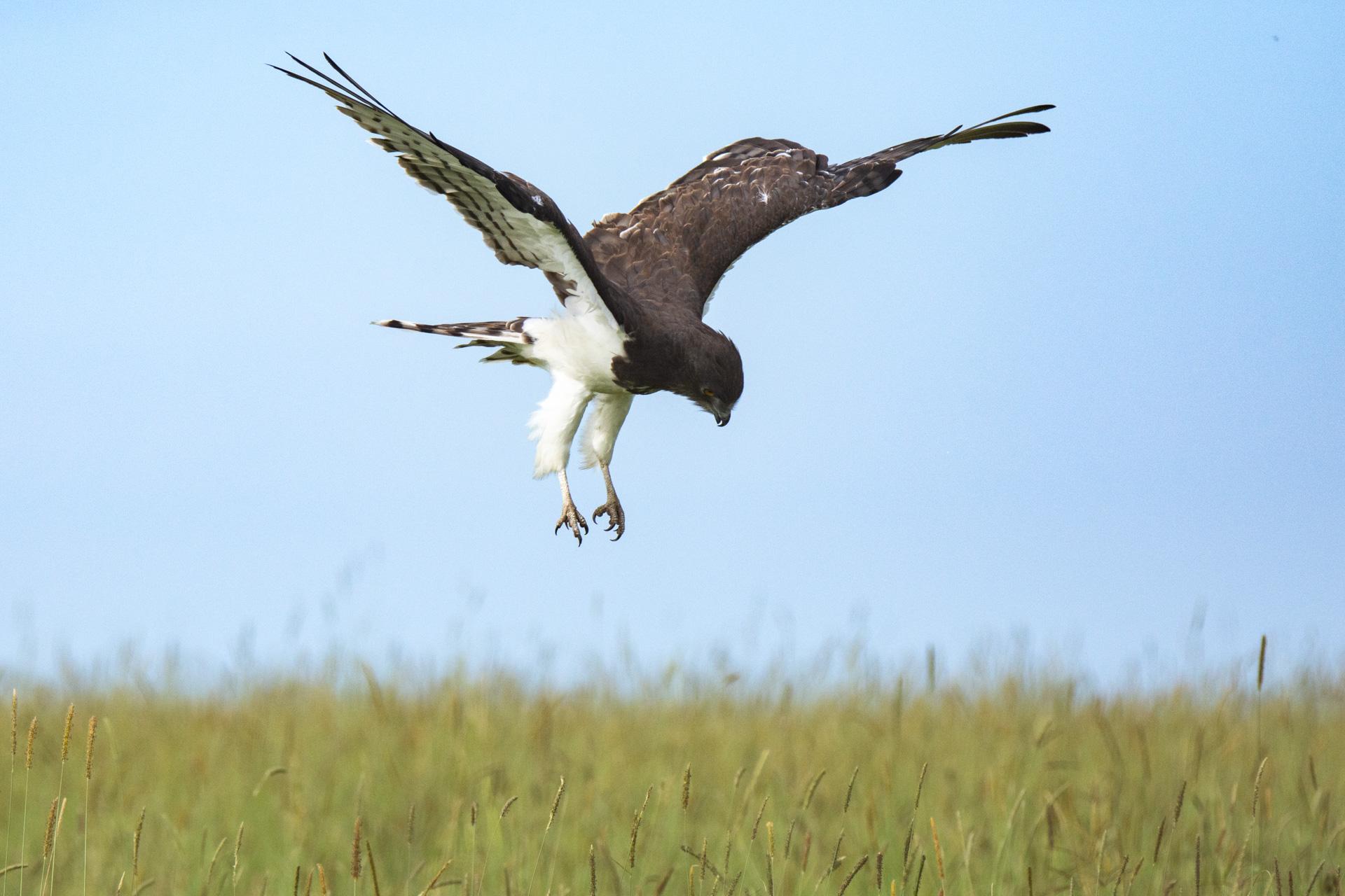 snake eagle 2