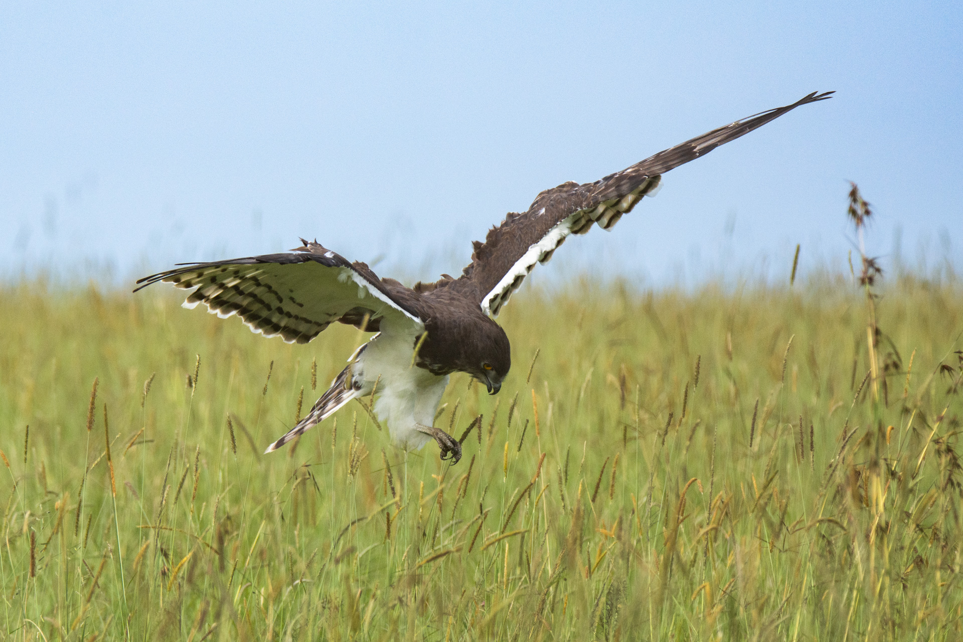 snake eagle 3