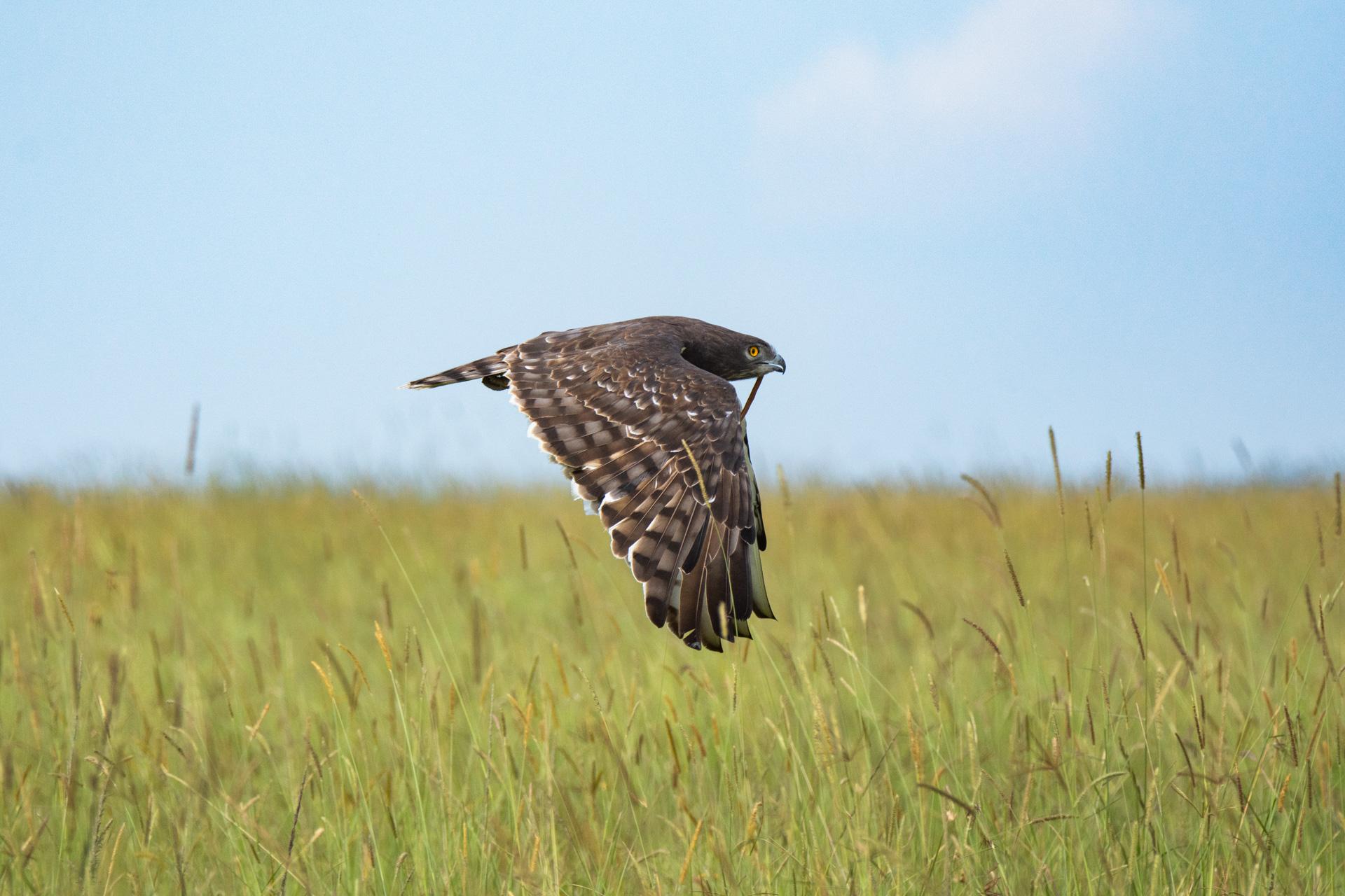 snake eagle hunting success