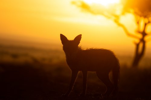 A jackal at sunrise