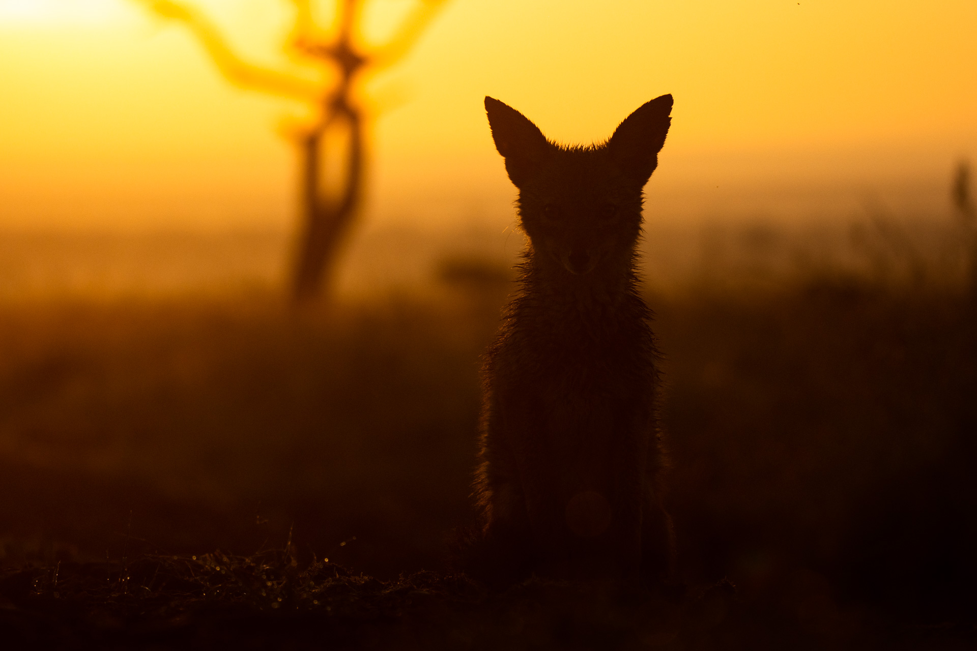 Portrait of jackal at sunrise