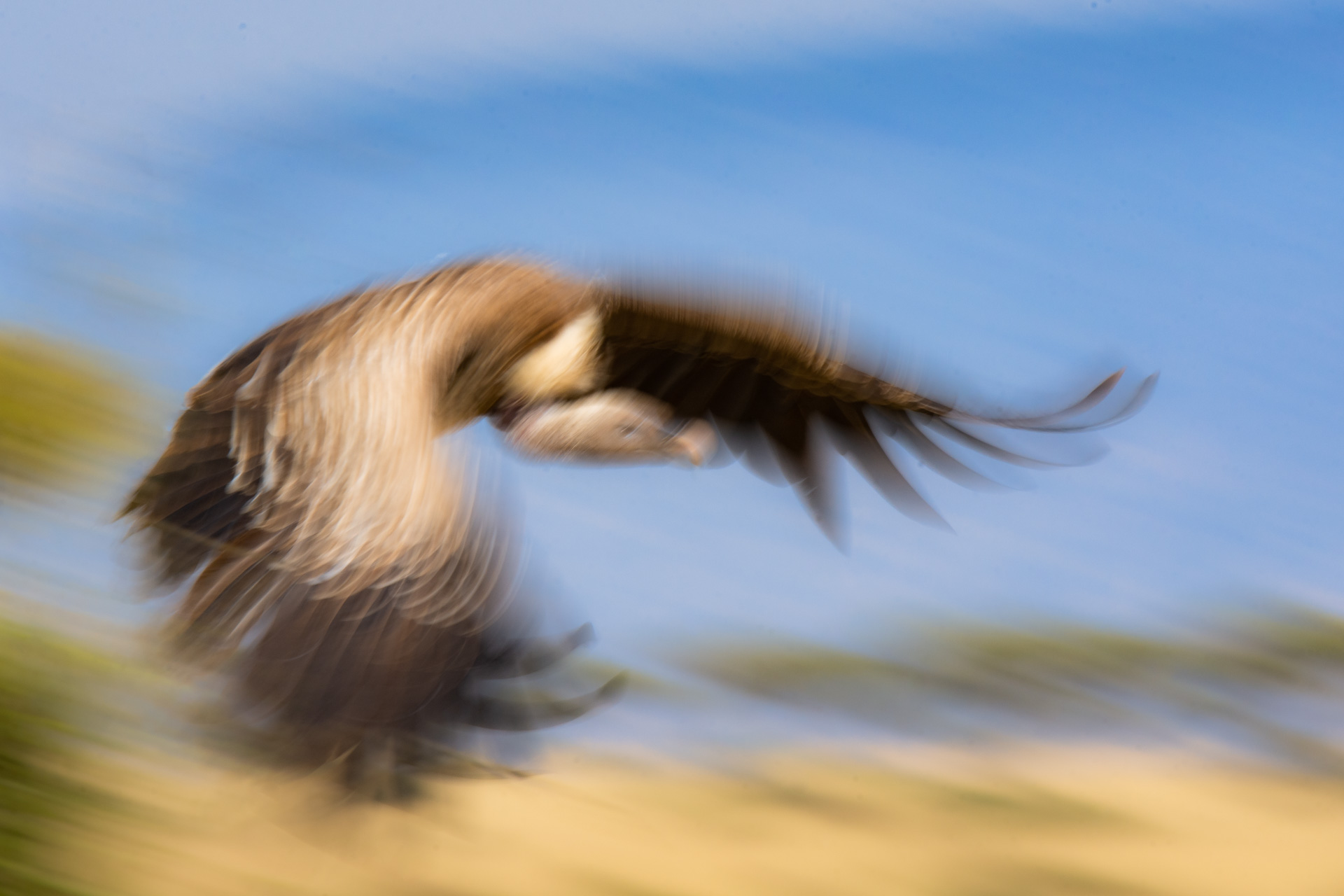 Vulture in flight blur