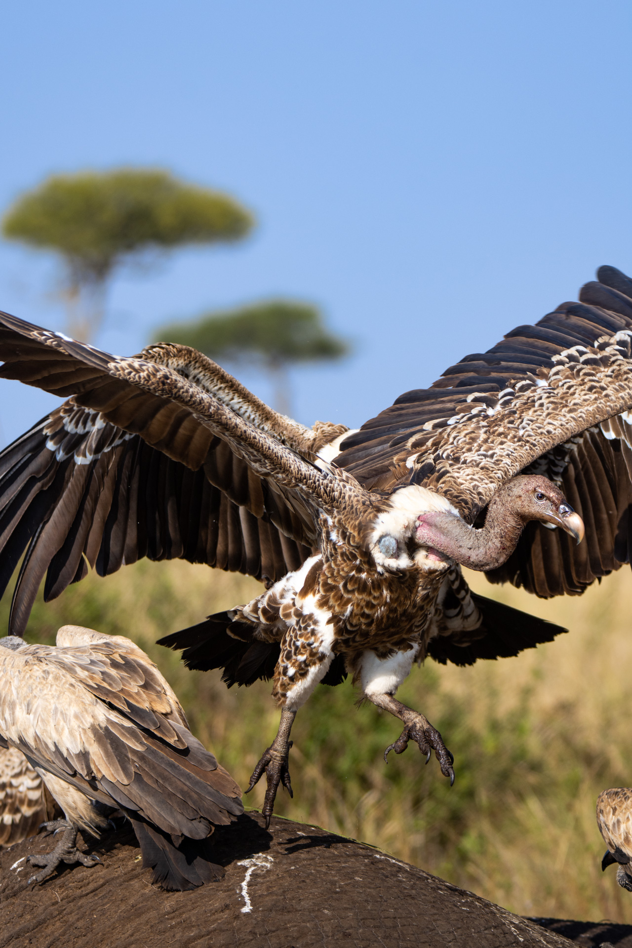 Vulture taking off