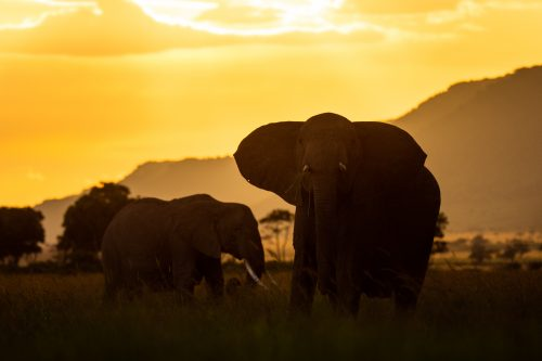 A herd of elephant silhouetted by the sunset