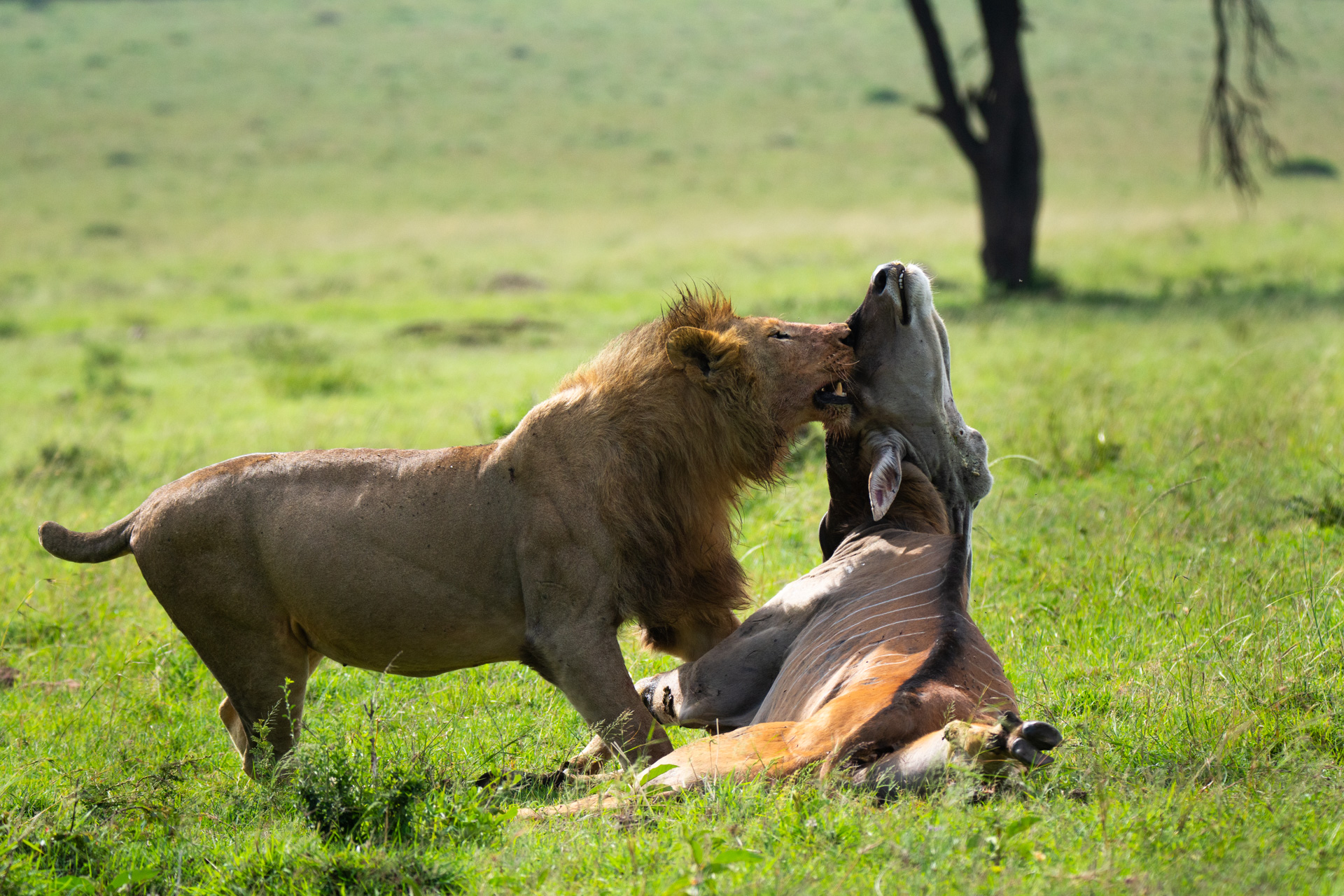 Lion and eland wide