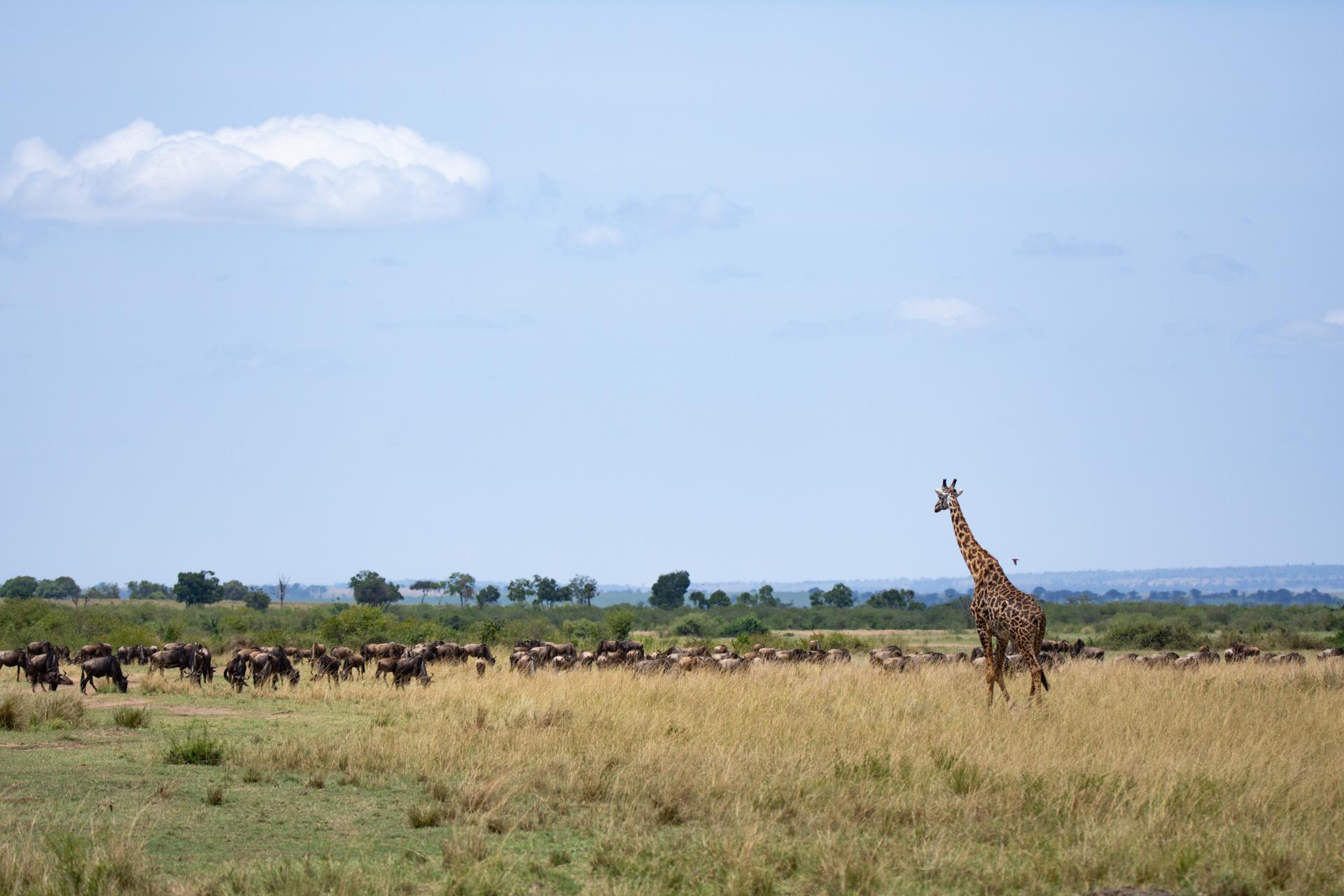 giraffe and wildebeests
