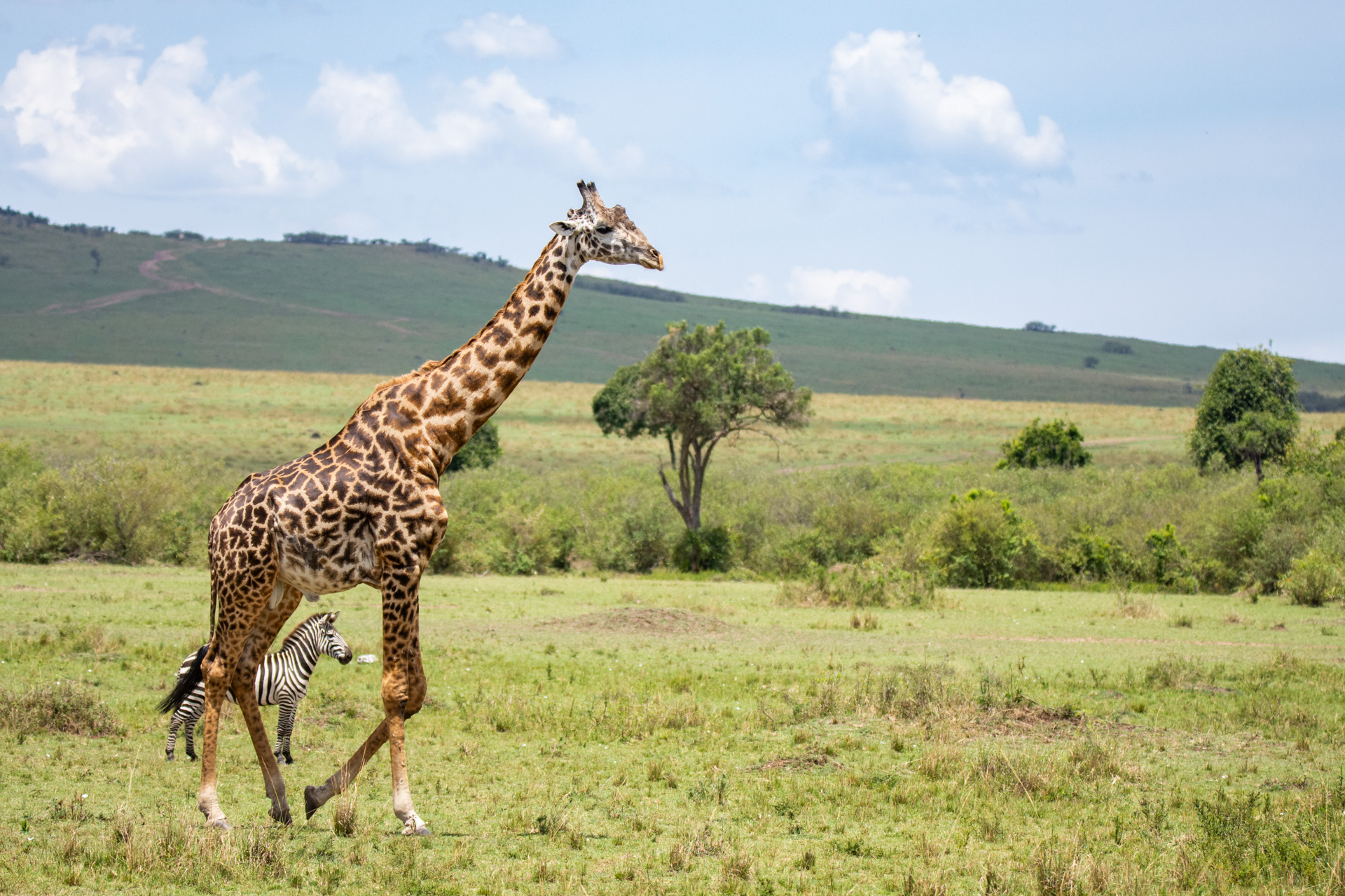 Giraffe running and zebra between it's legs