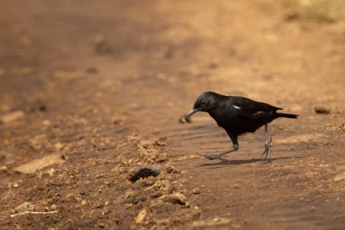 A sooty chat catches a caterpillar
