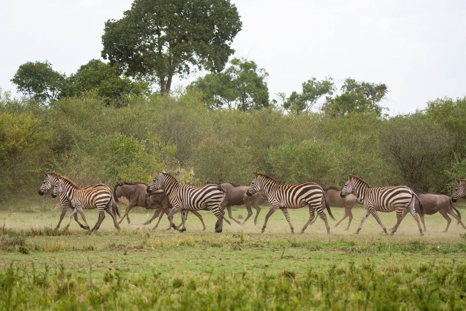 Zebra on the move