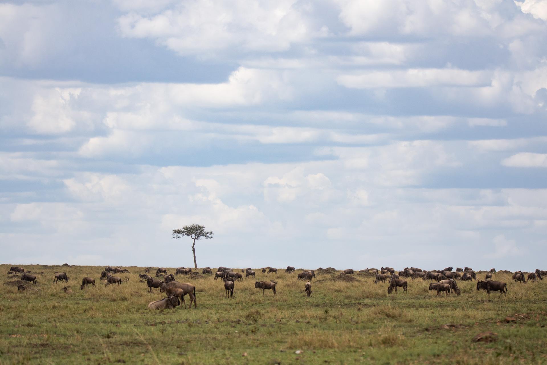 More wildebeest