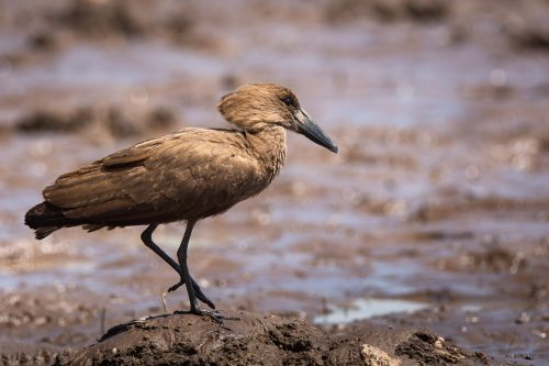 The hammerhead heron, more commonly known as the hamerkop
