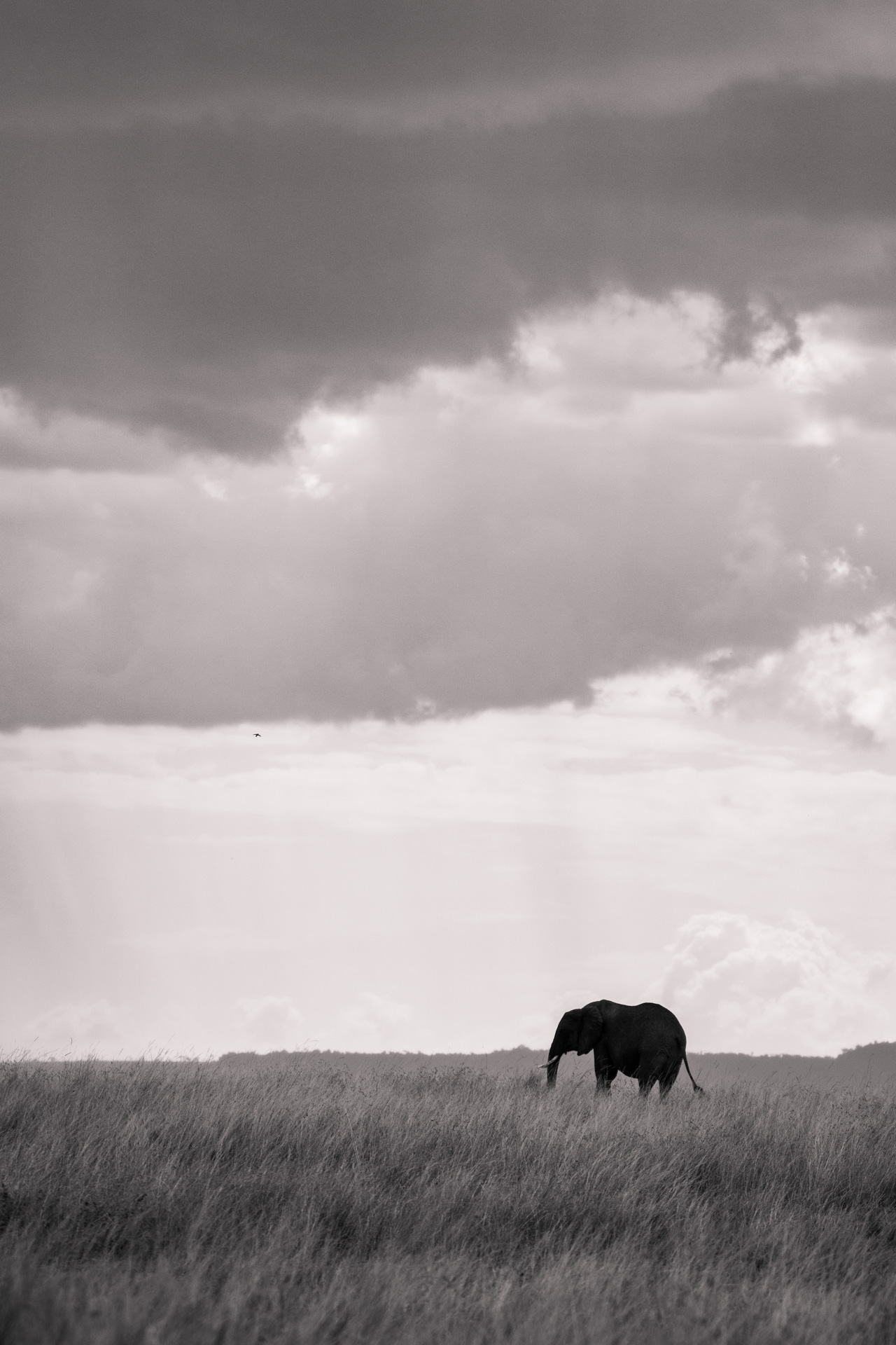 Black and white elephant in the distance
