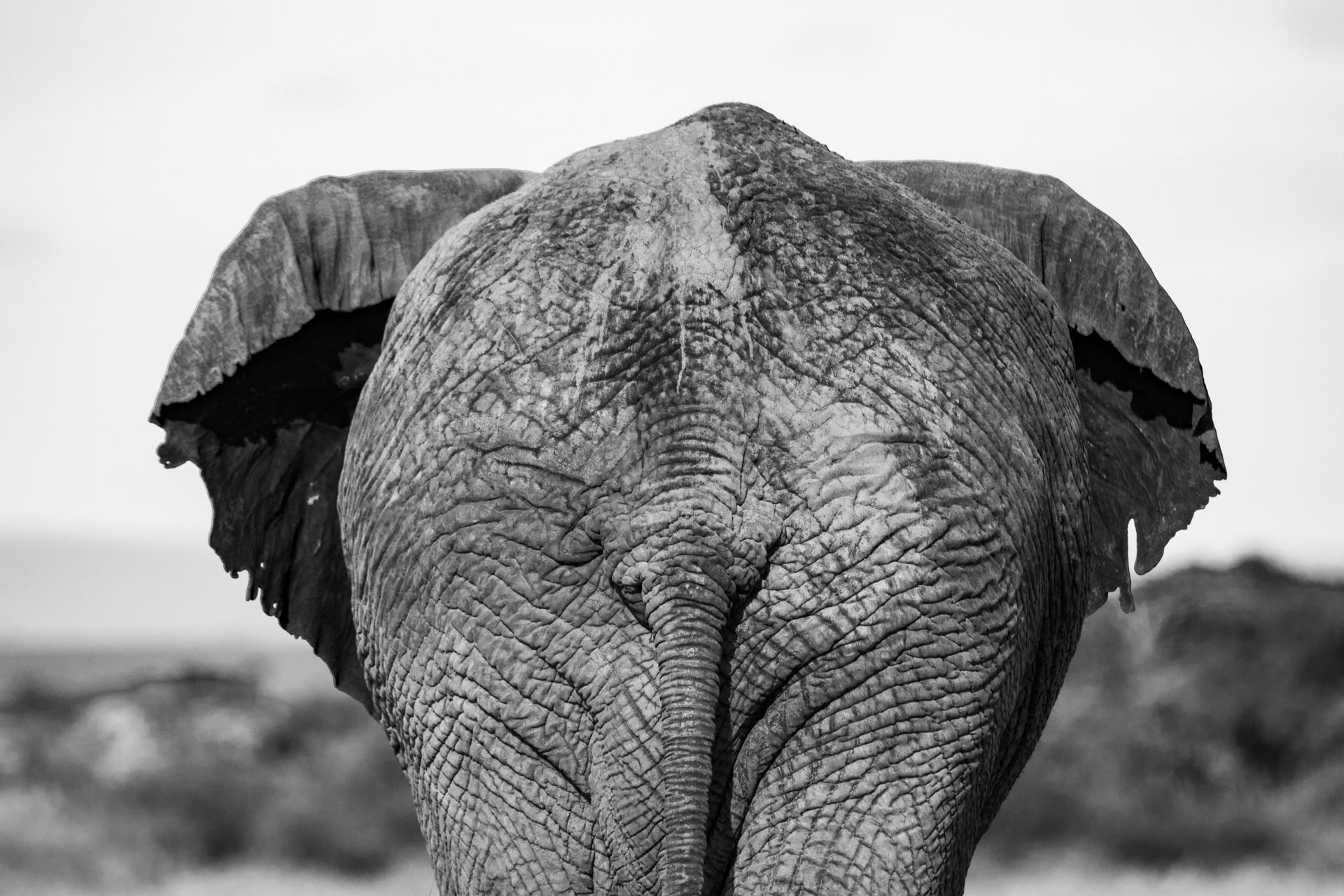 Elephant black and white