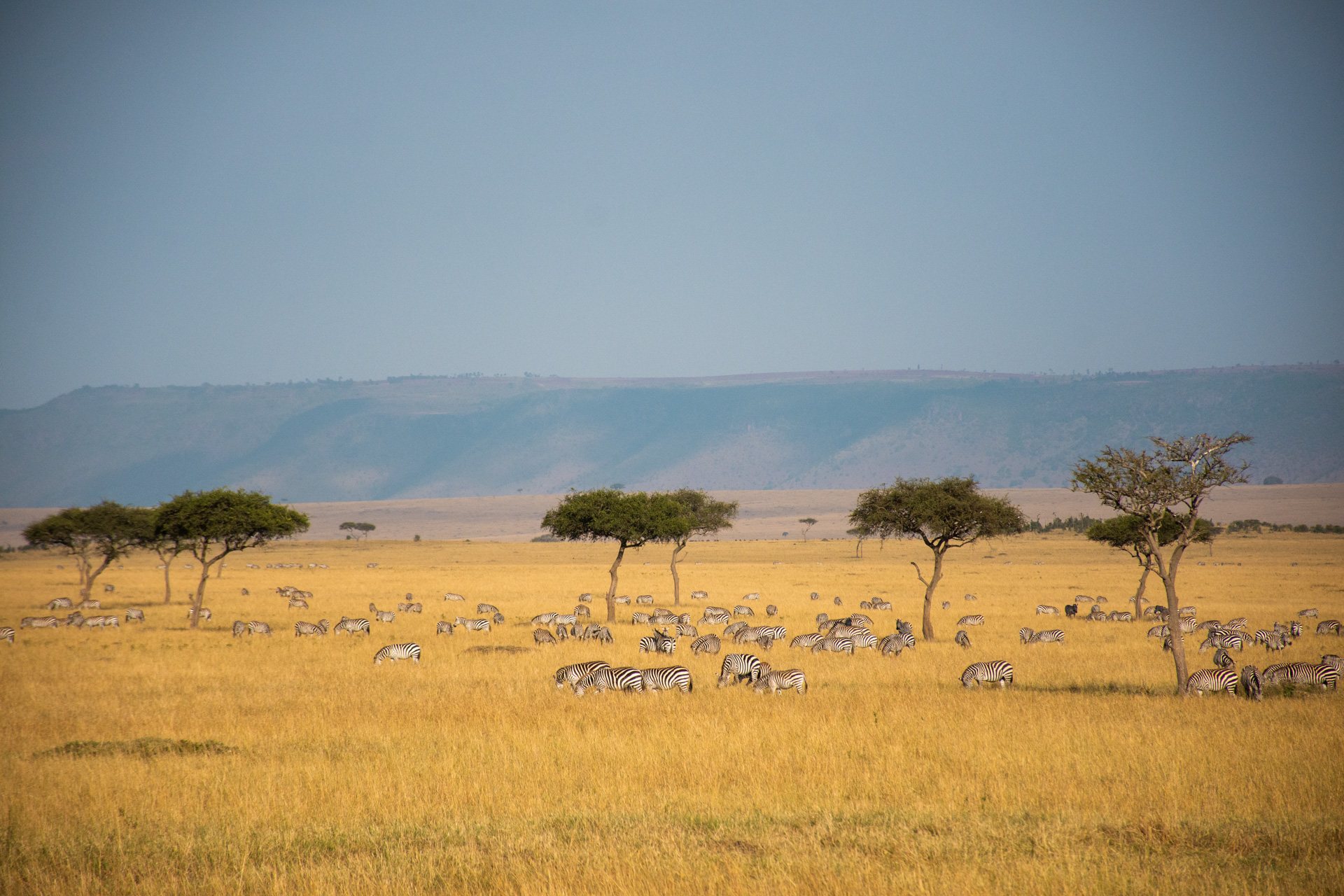 Zebras in the distance