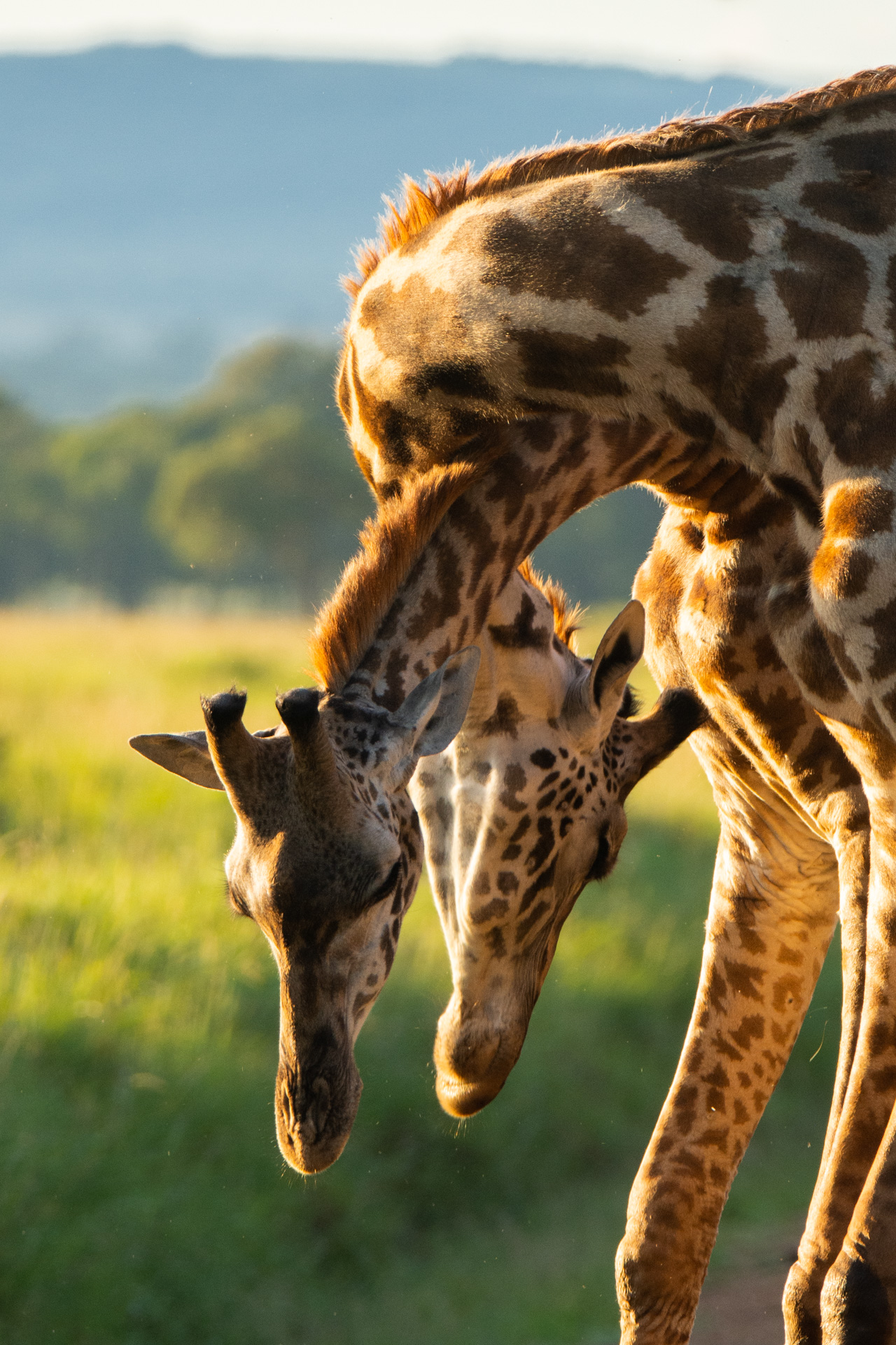 Twisted giraffe necks