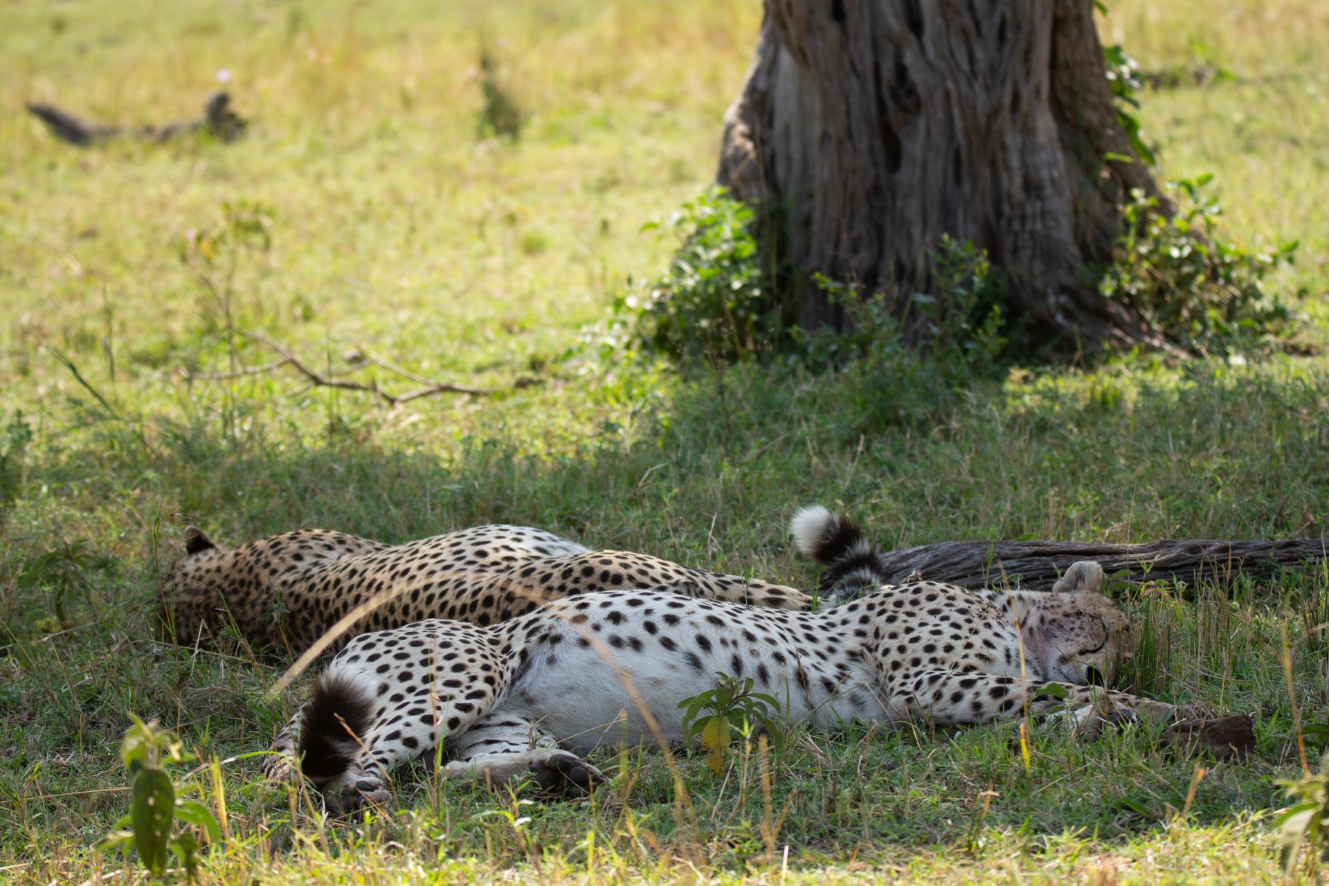Cheetahs sleeping in the shade