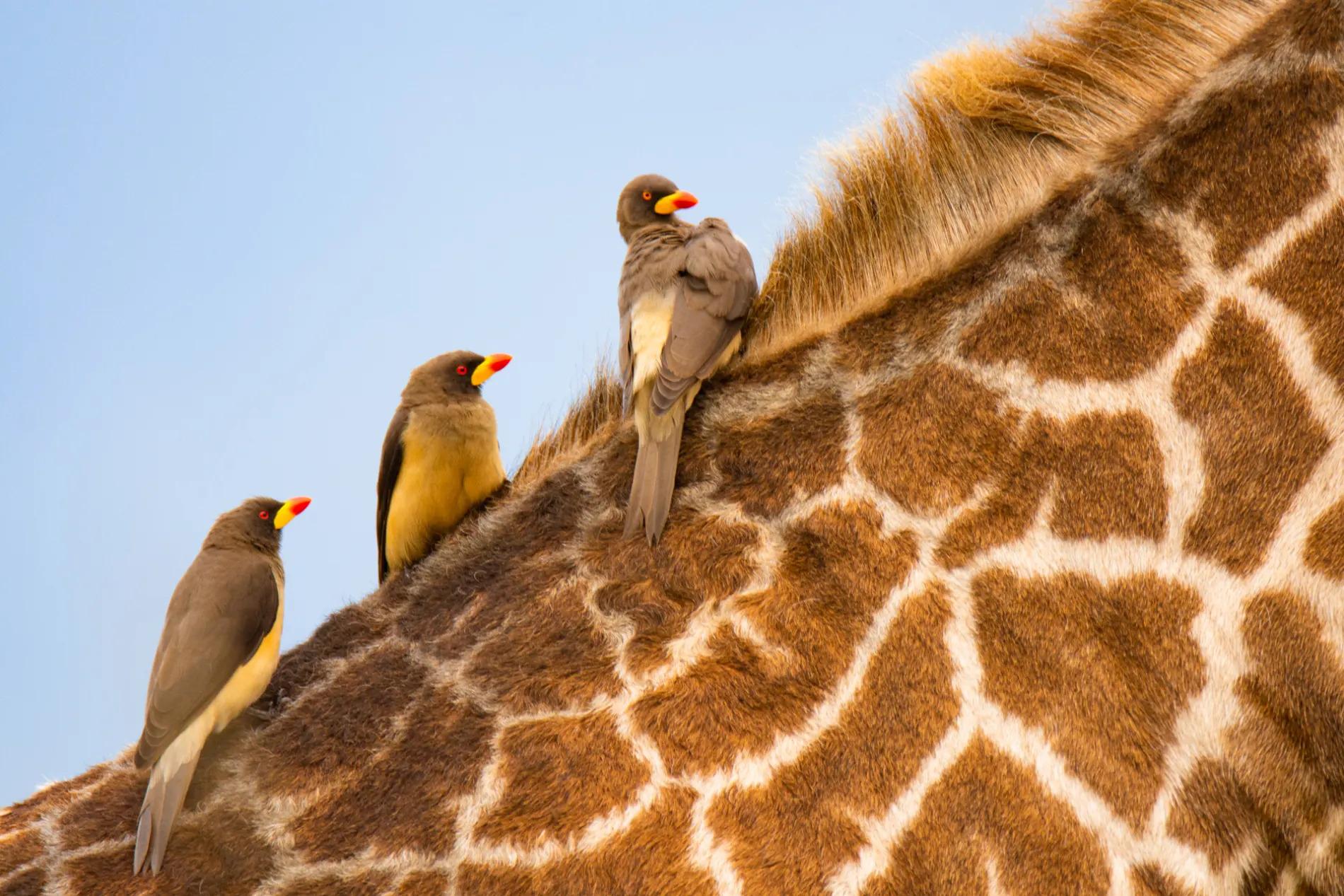 Ox peckers on giraffe