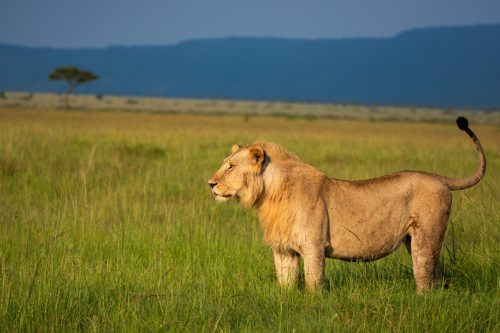 A male lion surveys the Mara Triangle in the afternoon sun
