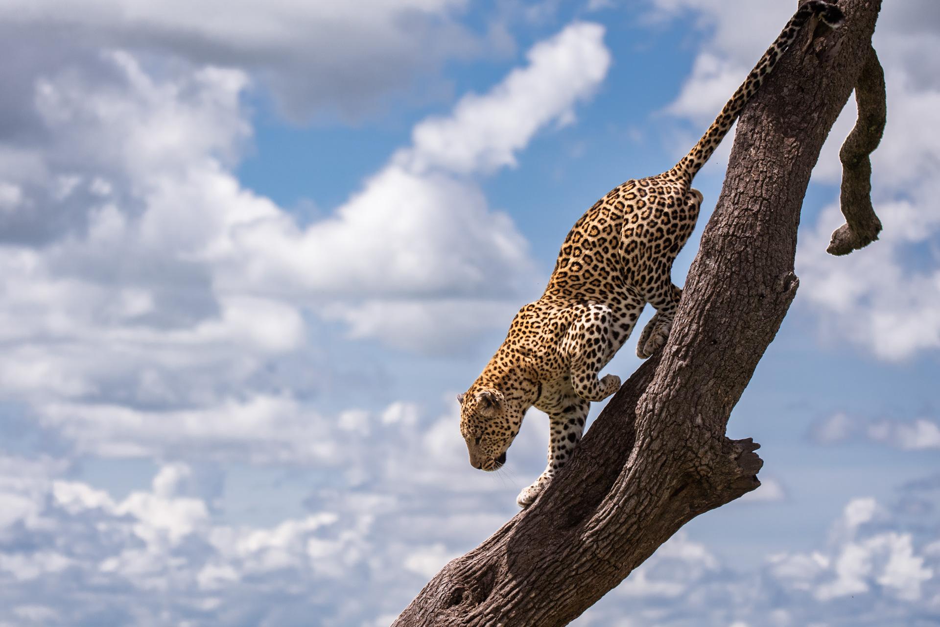 Leopard walking down the tree