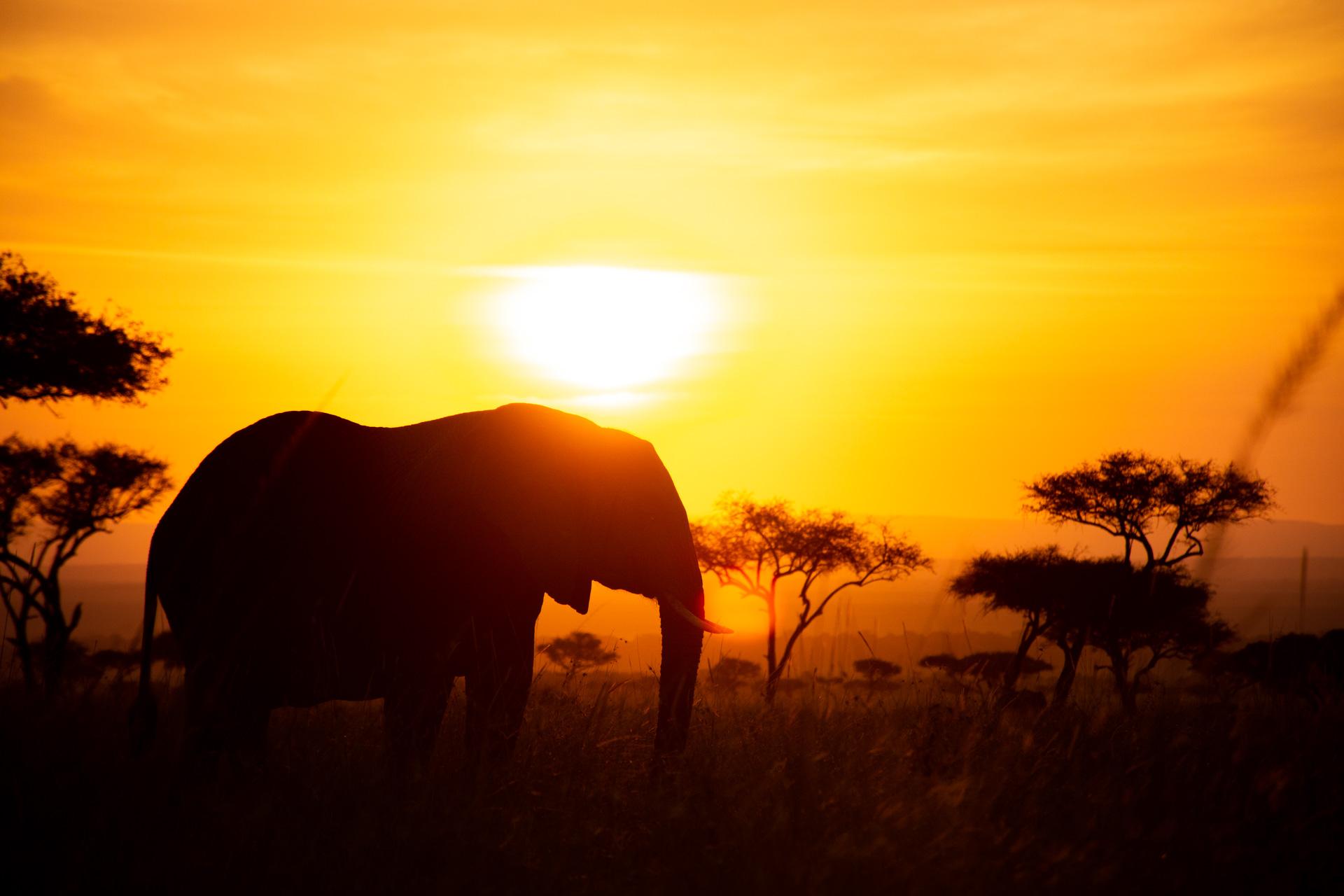 Close up of elephant at sunrise