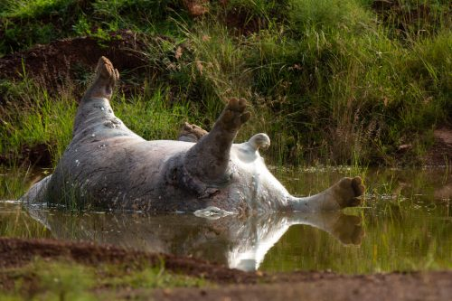 A hippo carcass lies in a small pool of rainwater