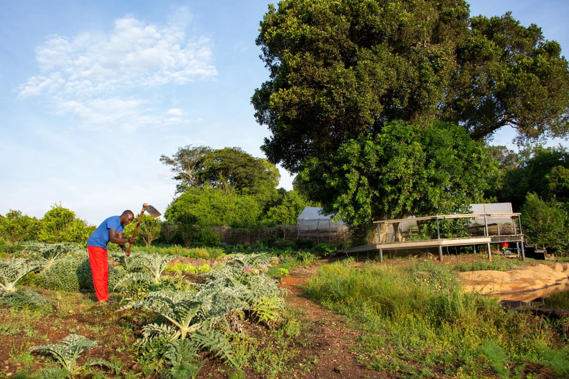 Naliki planting veg